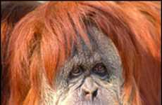 Web Dating For Orangutans