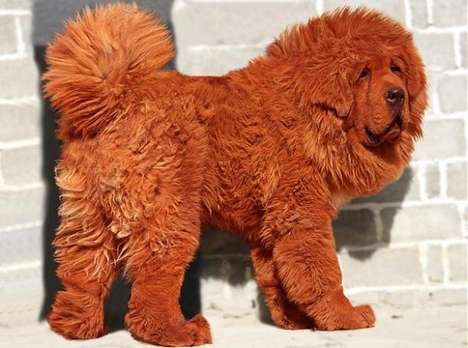 Red Tibetan Mastiff