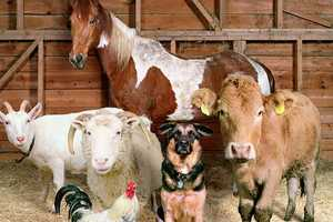 Rob Macinnis' Photography Shows Staged Barnyard Animals