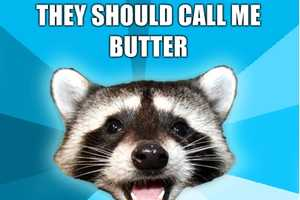 The Lame Pun Coon is a Comedically Cute Creature