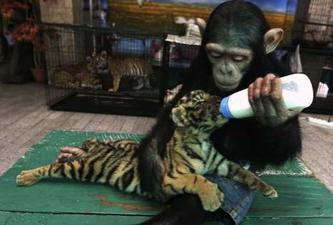 Monkey Feeds Baby Tiger