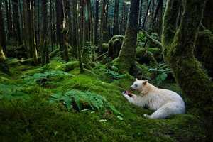 Paul Nicklen Photographs Unbelievable Images of the 'Kermode' Bear