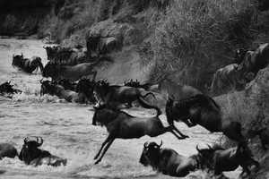 These Tomasz Gudzowa Photos Capture Herds Crossing the Mara River