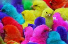 Pigmented Chickens