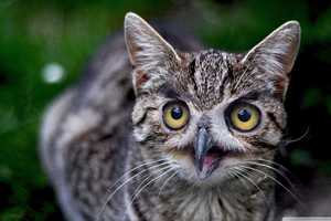 Cats With Owl Faces Photoshops Avian Features Onto Feline Bodies