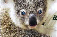 Blue Eyed Koala