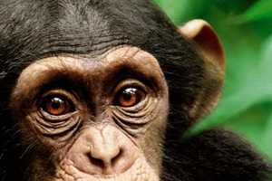 The Disney Chimpanzee Movie Helps the Jane Goodall Foundation