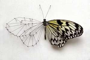 Anne Ten Donkelaar Transfomors Butterflies into Artistic Masterpieces