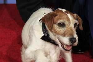 Uggie the Dog Joins the Cast of the Artists at the 2012 Golden Globes