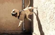 Wall-Climbing Canines - 'TreT-The Parkour Dog' is a Super Dog from Ukraine