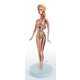 Anatomy-Showing Dolls