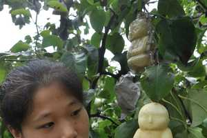 These Buddha-Shaped Pears are Cute and Edible Good Luck Charms