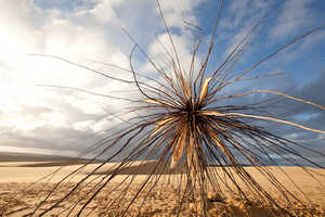 The Corey Thomas Spinifex Stands Out Amidst Sand