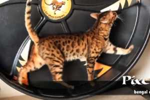 The Cat Wheel Allows Your Furry Friend to Have a Treadmill-Like Workout