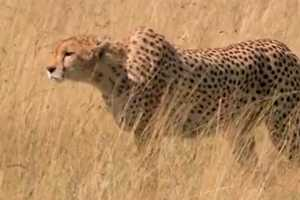 This Skechers Super Bowl Commercial Pits Man Against Cheetah