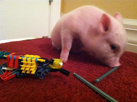 disabled piglet