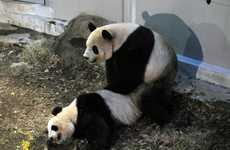 Panda Voyeurism Videos  - The Ueno Zoo Panda Clip Features Two Cuddly Pandas Getting it On