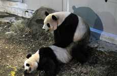 Panda Voyeurism Videos