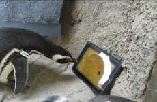 Penguin-Specific Tablets - A Specially Designed Penguin Ipad May Be on the Way After This Happened