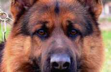 Titan German Shepherds