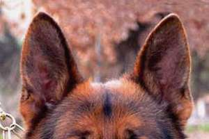 Titan German Shepherds