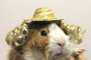 Guinea Pig Fashion Gives These Shaggy Rodents a Chic Makeover