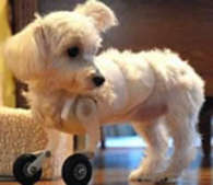 Maltese Puppy With Front Wheels, Not Paws