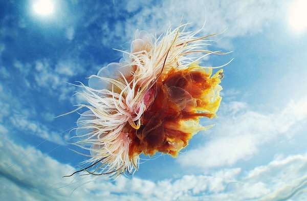 Juxtaposed Jellyfish Photography