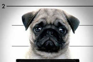 These Pug Mug Shots are Cute Enough for a Get-Out-of-Jail-Free Card