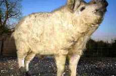 Pigs That Look Like Sheep - Boris the Lincolnshire Curly Coat Pig