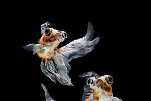 These Siamese Fighting Fish Portraits are Truly Works of Art