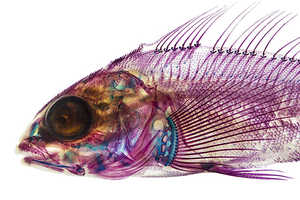 These Illustrations of Transparent Fish are Made of Neon Lights