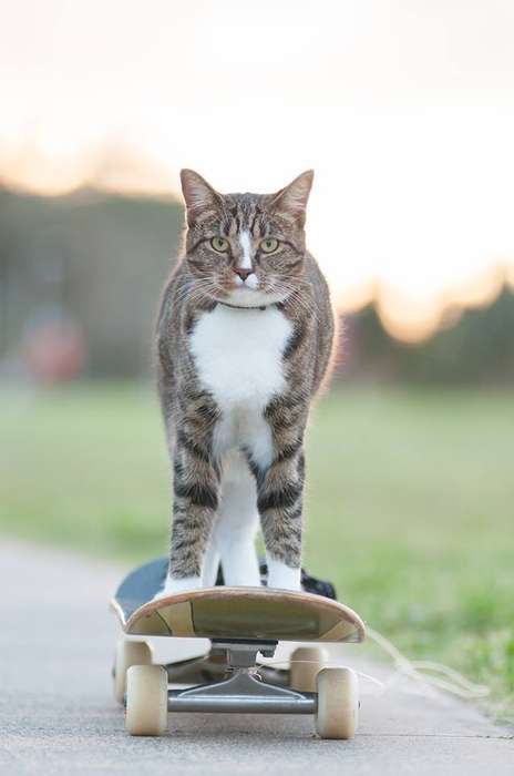 Skateboarding Cat Videos - Robert Dollwet Trains Didga the Acrobatic Feline in Doing Handstands