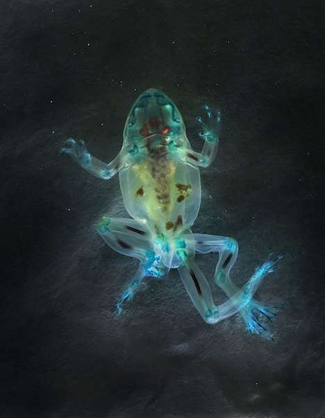 Beautifully Deformed Photography - This Colorful Frog Photography Series are Essentially X-Rays