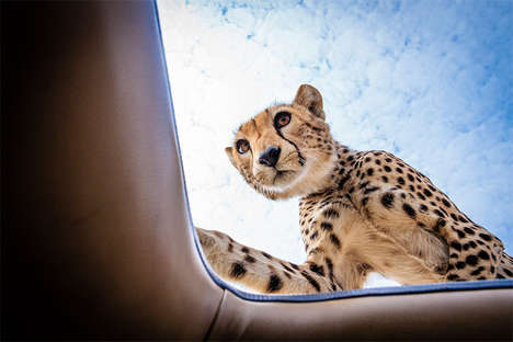 Over-Friendly Wildlife Photography - Bobby-Jo Clow Captures a Cheetah Being Up-Close and Personal