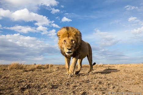 Lion-Photographing Robots - The BeetleCam Project by William Burrard-Lucas is Reliant on Technology