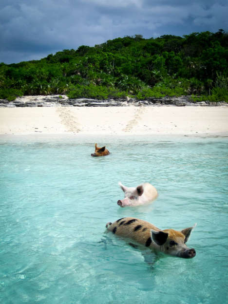 Aquatic Pig Vacations - The Pig Island in the Bahamas Allows for Swimming with Wild Pigs