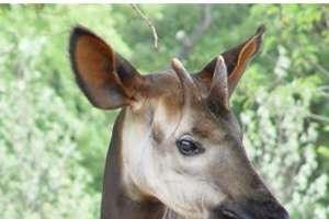 First African Okapi Photos