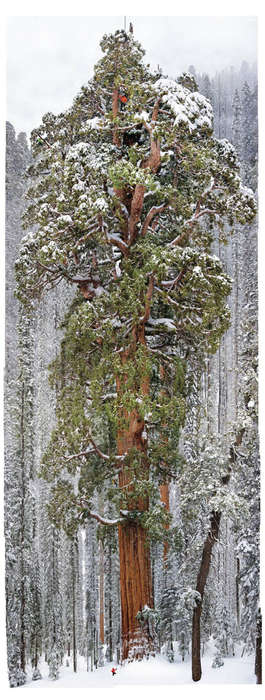 Ancient Tree Photography - This Amazing Photo of a 3,200-Year-Old Giant Sequoia is Mesmerizing
