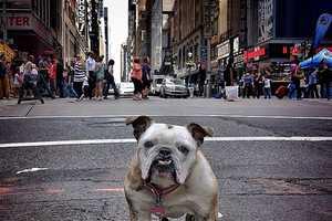 These Bulldog Photos Feature Maya the New York-Based Bulldog