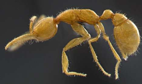 Bizarre Brazilian Discoveries - The Eyeless Martialis Heureka Ant