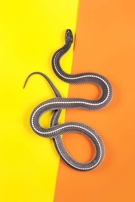 Striking Snake Portrayals - The Slitherstition Series by Andrew Mcgibbon Finds Beauty in the Reptile