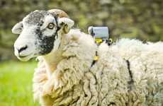Cyclist-Photographing Sheep