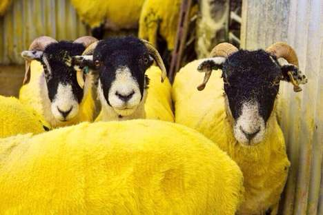 Colored Sheep Campaigns - This Tour De France Campaign Colored Sheep to Match the Yellow Jersey
