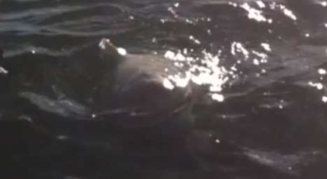 Shark Sighting Hoaxes - The Shark in Lake Ontario Video is Only a Prankvertisement for Shark Week