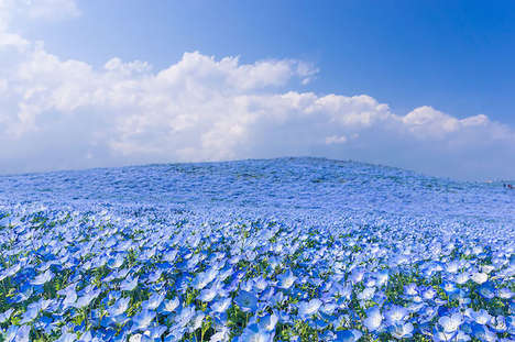 Blue Flower Fields - The Hitashi Seaside Park in Japan Blooms a Sea of Baby Blue Eyes in the Spring