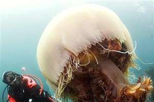 100 Foot Long Giant Jellyfish Discovered + Jellyfish Ice Cream and Robots