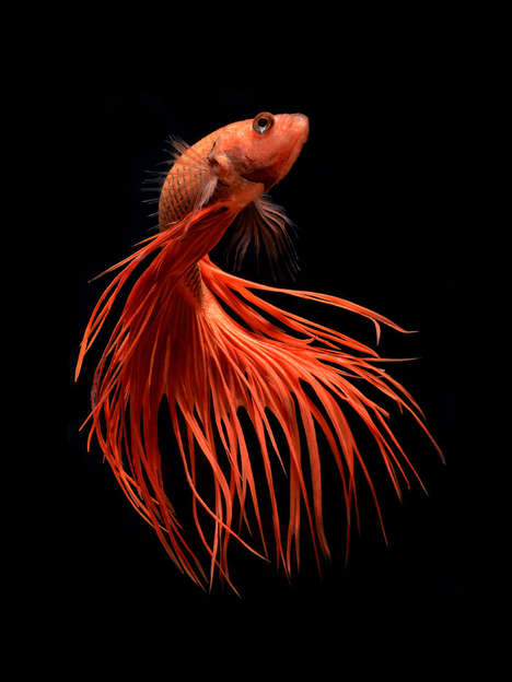 Siamese Fighting Fish Photography - Visarute Angkatavanich Updates His Impressive Portfolio