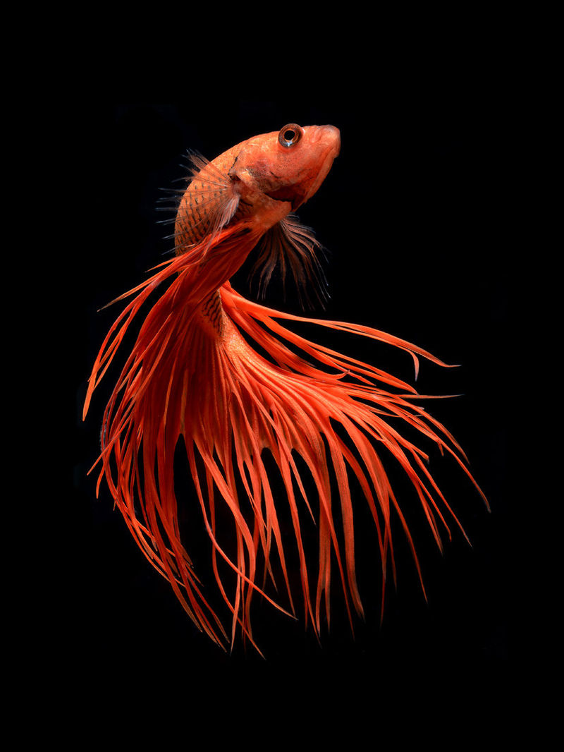 Siamese Fighting Fish Photography