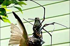 Bird-Eating Spiders - Australia's Giant Golden Orb Weaver